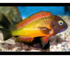 Sycled fish